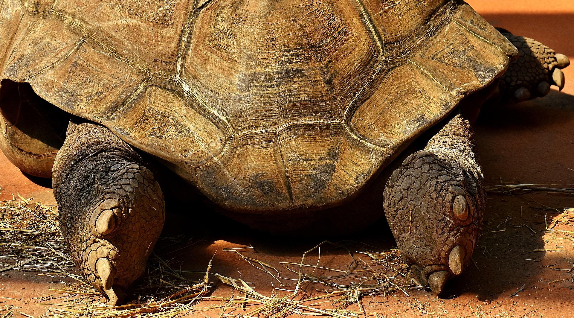 giant-tortoise-2516539_1920.jpg