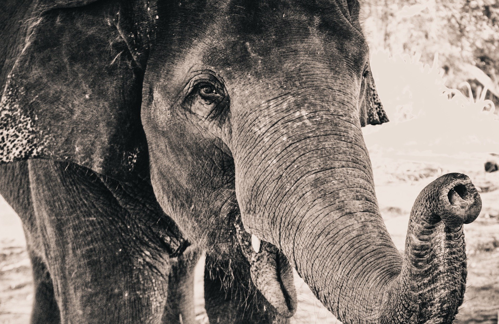 elephant-919022_1920